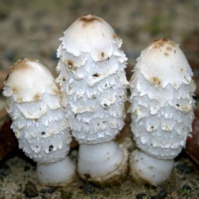 Белок из чернильных белых грибов побеждает особо агрессивный рак крови